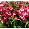 Penstemon Pentastick Red - Penstemon Pentastick Red - czerwone, wys. 50, kw. 6/8 C0,5 zzzz xxxy