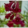 Penstemon Rich Ruby - Penstemon Rich Ruby - czerwone, wys. 80, kw. 6/8 C2 xxxy