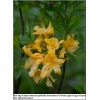 Rhododendron Golden Light - Azalea Golden Light - Azalia Golden Light - pomarańczowo-żółte C5 20-60cm