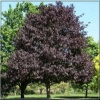 Acer platanoides Royal Red - Klon pospolity Royal Red PA _180-200cm C7,5 _180-200cm
