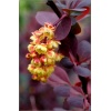 Berberis thunbergii Red Rocket - Berberys Thunberga Red Rocket C1,5 20-30cm