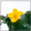 Caltha palustris Bright Yellow - Kaczeniec błotny Bright Yellow - żółty, wys. 30, kw 4/5 C0,5