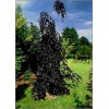 Fagus sylvatica Purple Fontain - Buk pospolity Purple Fountain C3 40-60cm xxxy