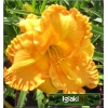 Hemerocallis Orange Nassau - Liliowiec Orange Nassau - ciemnożółty, wys.65, kw 7/8 C1,5 P