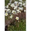Saxifraga arendsii Butter Creme - Skalnica Arendsa Butter Creme - białe, wys 15, kw 5/6 C0,5