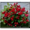 Weigela All Summer Red - Krzewuszka All Summer Red - czerwone FOTO